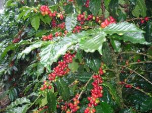 Café cereza, en las montañas veracruzanas